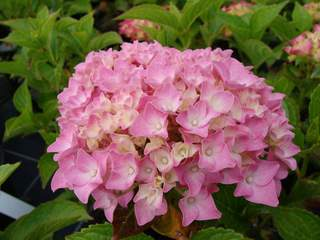 HYDRANGEA macrophylla 'Forever Pink'2