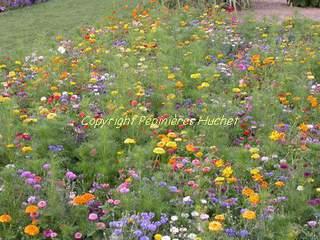 Graines et plantes pour votre jardin pepini re en ligne - Fleur de jachere ...