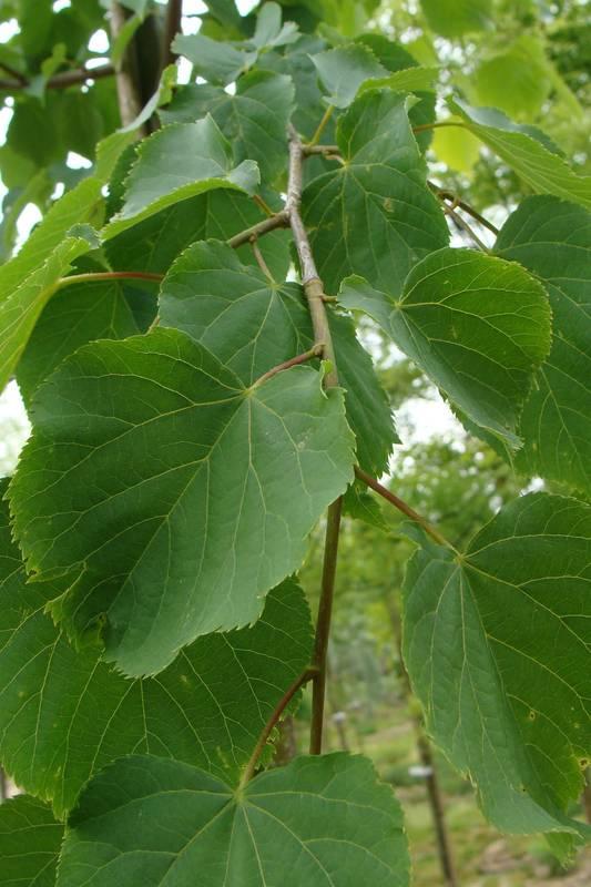 Tilia cordata 39 greenspire 39 tilleul petites feuilles arbre - Tilleul a grandes feuilles ...
