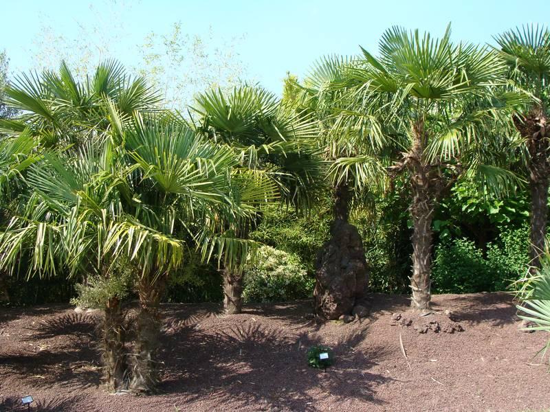 trachycarpus fortunei palmier chanvre palmier de chine arbre. Black Bedroom Furniture Sets. Home Design Ideas