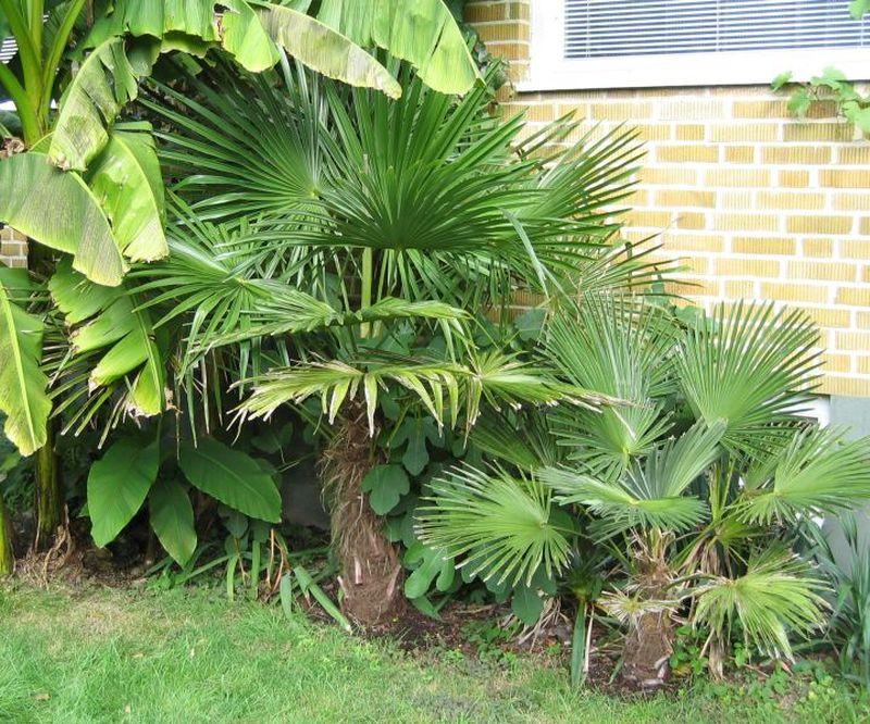 trachycarpus fortunei 39 wagnerianus 39 palmier chanvre palmier de chine petit arbre. Black Bedroom Furniture Sets. Home Design Ideas