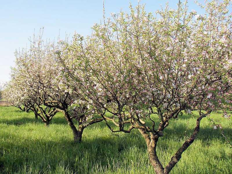 Arbres fruitiers : bien les choisir et conseils de plantation