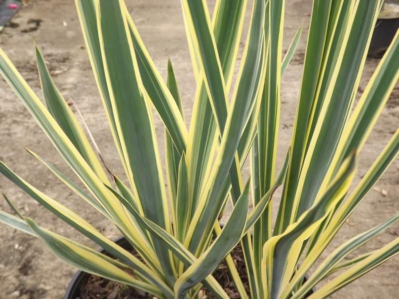 Yucca pied d 39 l phant yucca elephantides conseils de for Yucca exterieur pot