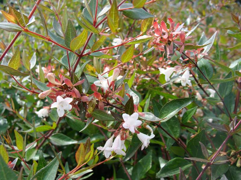 ABELIA grandiflora - lot de 15 plants-