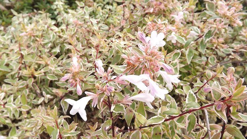 Abelia Grandiflora Radiance Abélia Nain Arbuste