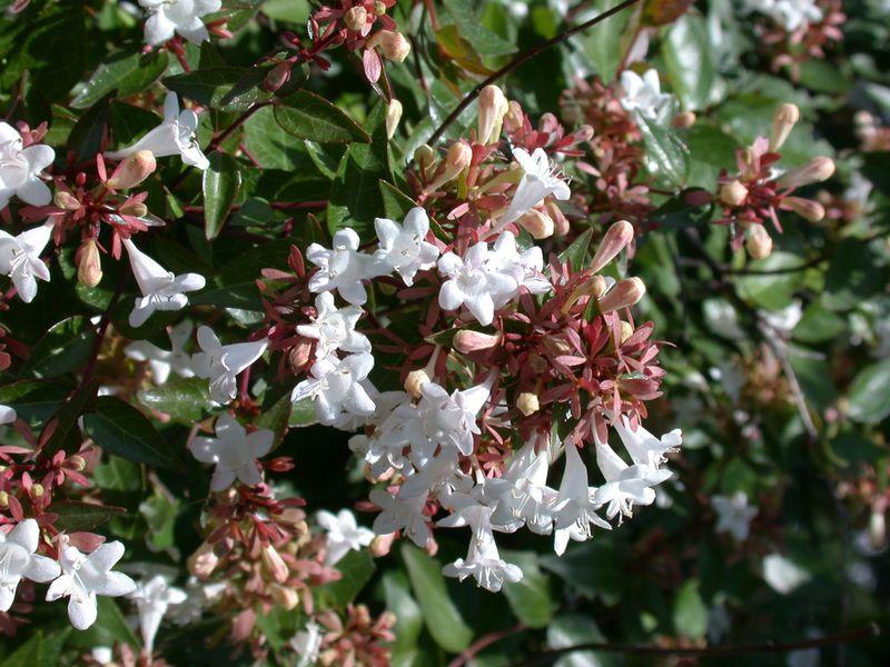 Abelia Grandiflora Sherwood Abélia à Grandes Fleurs De Sherwood