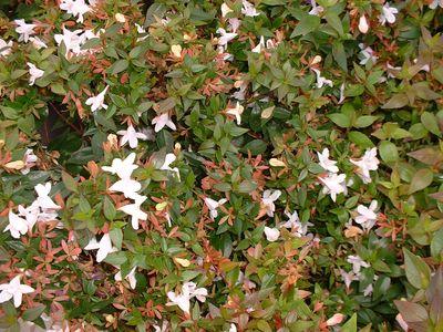 Abelia Grandiflora Prostata Abélia Nain Arbuste