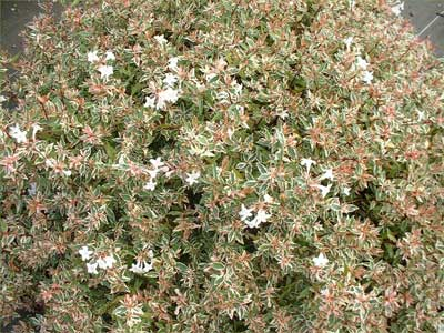 Abelia Grandiflora Confetti Abélia Nain Confetti Arbuste