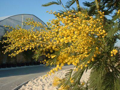 acacia dealbata gaulois mimosa d 39 hiver petit arbre. Black Bedroom Furniture Sets. Home Design Ideas
