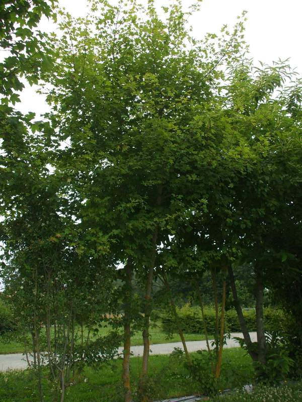 Acer campestre erable champ tre petit arbre for Arbre a petit developpement