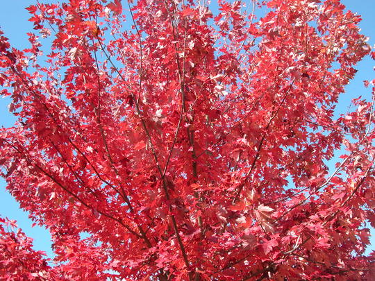 ACER rubrum Fairview Flame RN