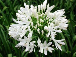 AGAPANTHE umbellatus blanc