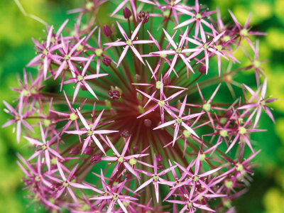 Ail d'ornement - ALLIUM christophii bulbe - Bulbe