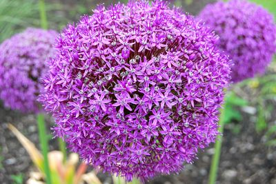 allium giganteum bulbe ail d 39 ornement bulbe. Black Bedroom Furniture Sets. Home Design Ideas