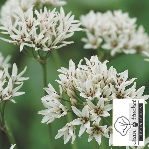 Ail - ALLIUM 'Graceful' bulbe -lot de 10- - Bulbe