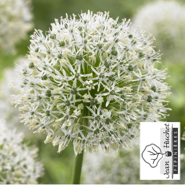 Ail d'ornement - ALLIUM 'Mount Everest' bulbe - Bulbe