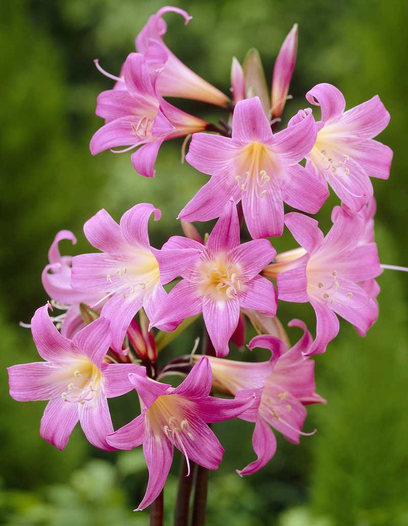 Amaryllis belladonna amaryllis bulbe for Planter bulbe amaryllis