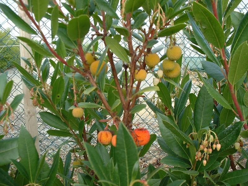 arbutus unedo arbousier arbre aux fraises arbuste. Black Bedroom Furniture Sets. Home Design Ideas