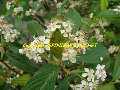 ARONIA arbustifolia Brillant