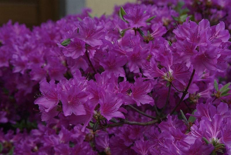 Azalea japonica geisha purple azal e japonaise arbuste for Azalea japonica