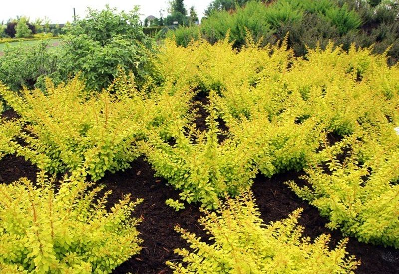 Epine vinette - BERBERIS thunbergii 'Golden Horizon' - Arbuste