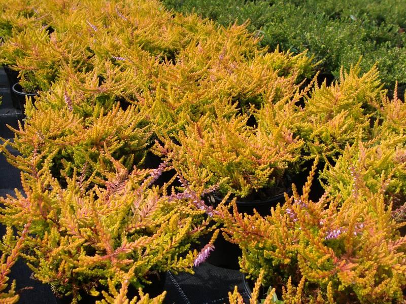 BRUYERE - CALLUNA vulgaris Dart's Flamboyant