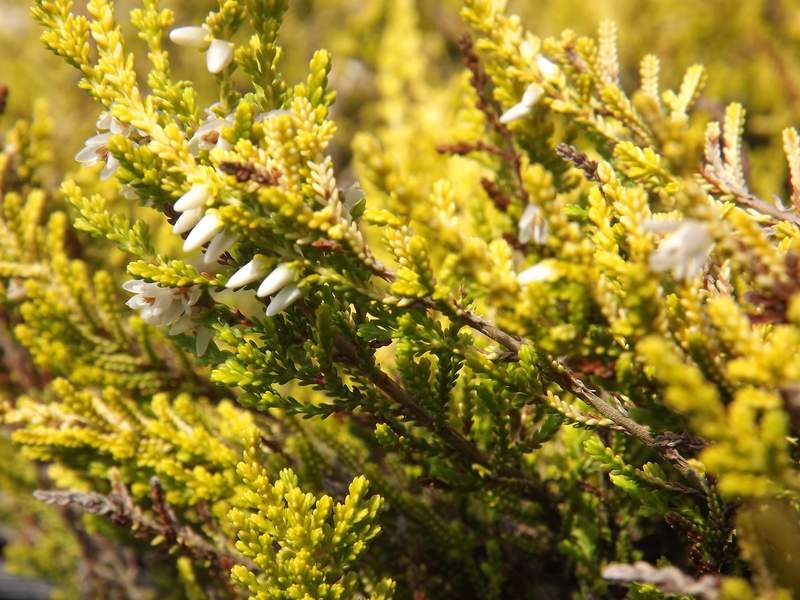 BRUYERE - CALLUNA vulgaris Golden Haze