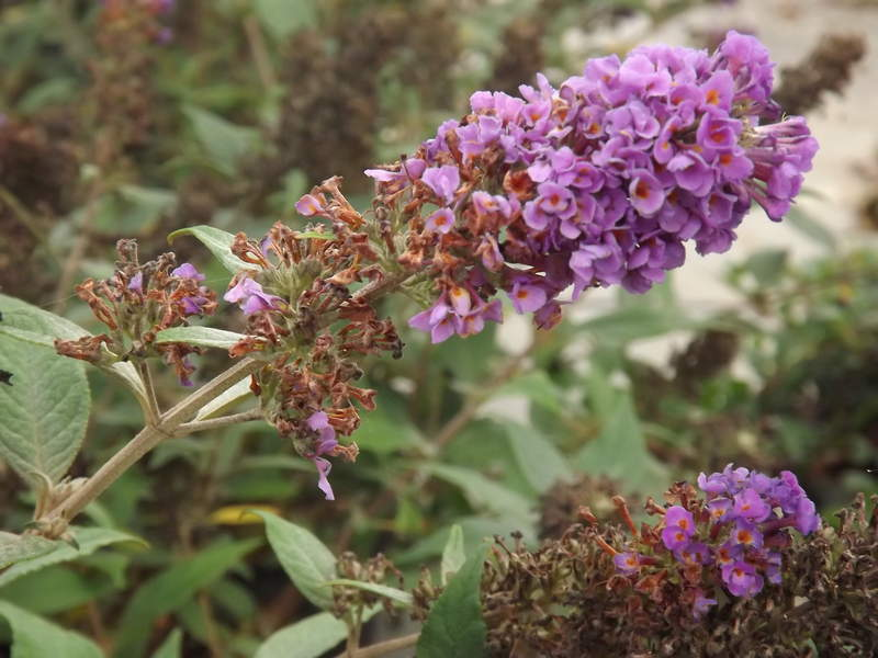 Arbres aux papillons nain - BUDDLEJA davidii Blue chips - Arbuste
