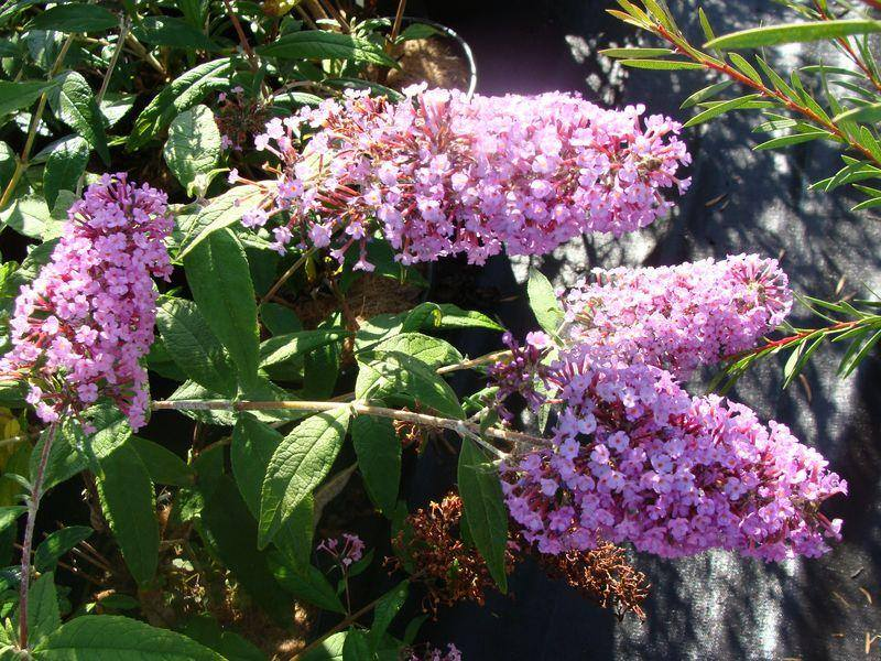 Buddleia 'Pink Delight' at
