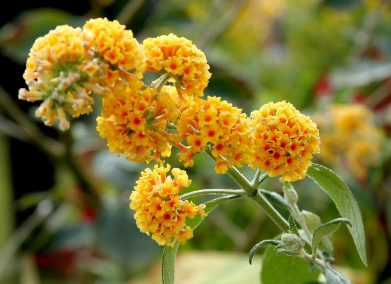 Arbre aux papillons - Buddleja × weyeriana 'Sungold' - Arbuste