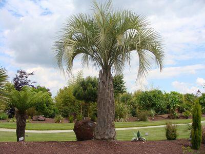 Les palmiers - Palmier cocotier ...