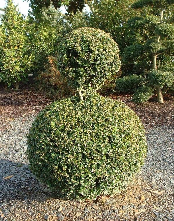 buxus sempervirens lot de 15 plants buis arbuste. Black Bedroom Furniture Sets. Home Design Ideas