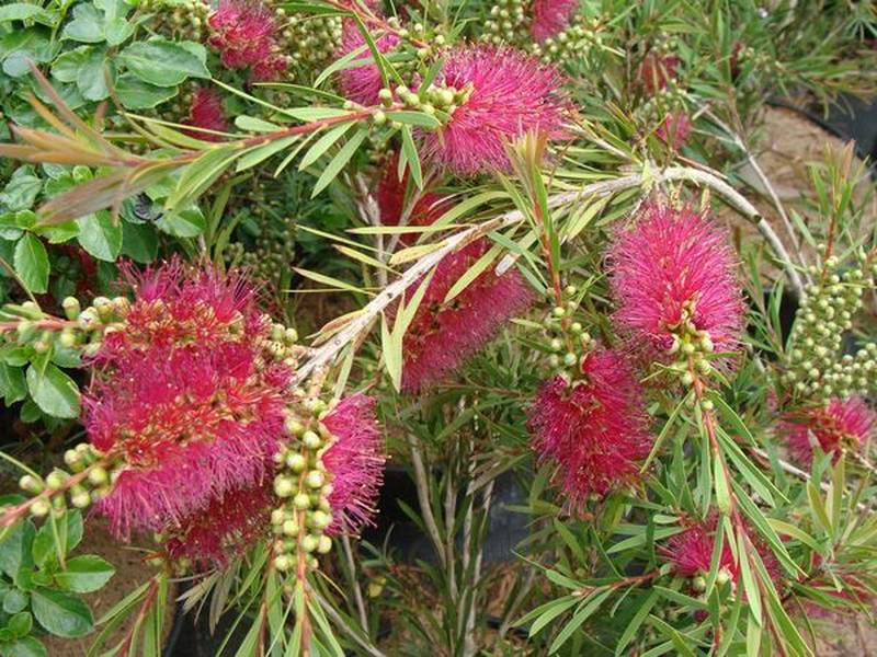 Callistemon 'Violescens' at