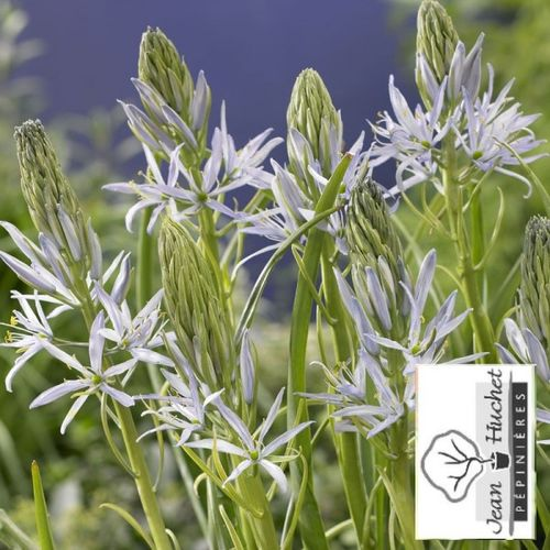CAMASSIA - CAMASSIA leichtlinii 'Blue Melody' -lot de 5- - Bulbe