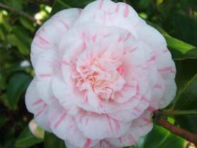 CAMELLIA japonica Marguerite Gouillon