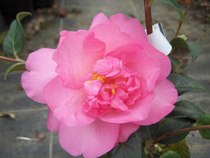 CAMELIA japonica 'mary phoeby taylor' 2