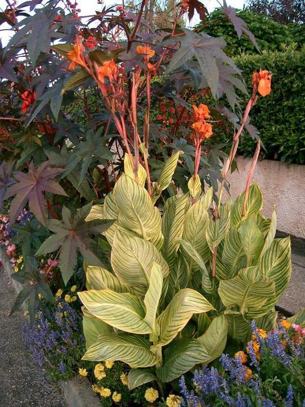 Canna haut striata balisier bulbe - Bulbes a floraison automnale ...