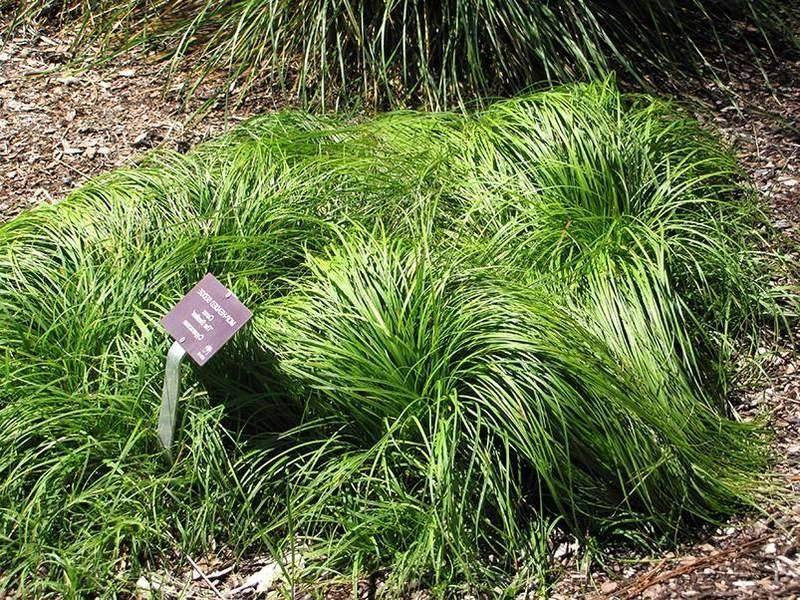 CAREX caryophyllea The Beatles