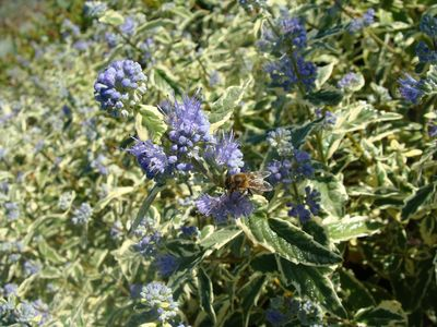 Barbe bleue - CARYOPTERIS clandonensis White Surprise - Arbuste