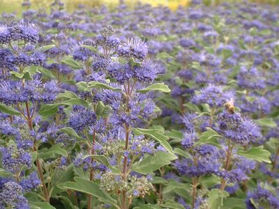 CARYOPTERIS grand Bleu