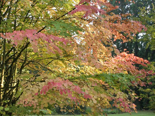 Cercidiphyllum japonicum arbre caramel petit arbre - Petit arbre decoratif ...