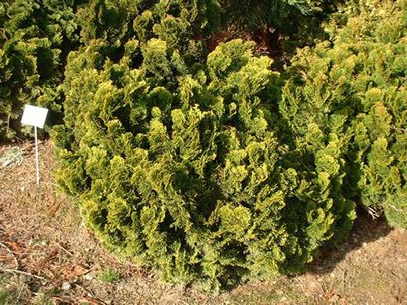 Cyprès hinoki - CHAMAECYPARIS obtusa Nana gracilis - Conifère nain