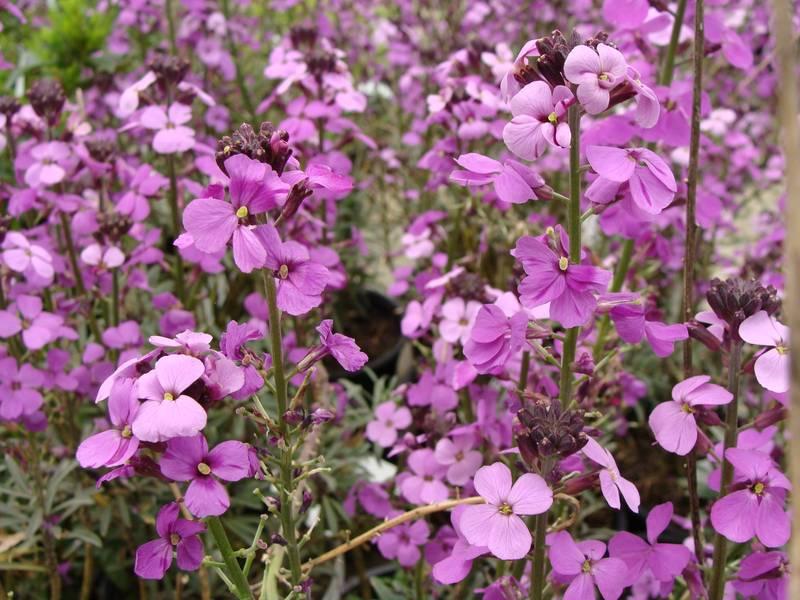 Cheiranthus bowles purple girofl e arbustive vivace - Bulbes a floraison automnale ...