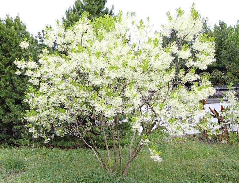 Chionanthus virginicus arbre de neige terre de bruy re for Arbre a petit developpement