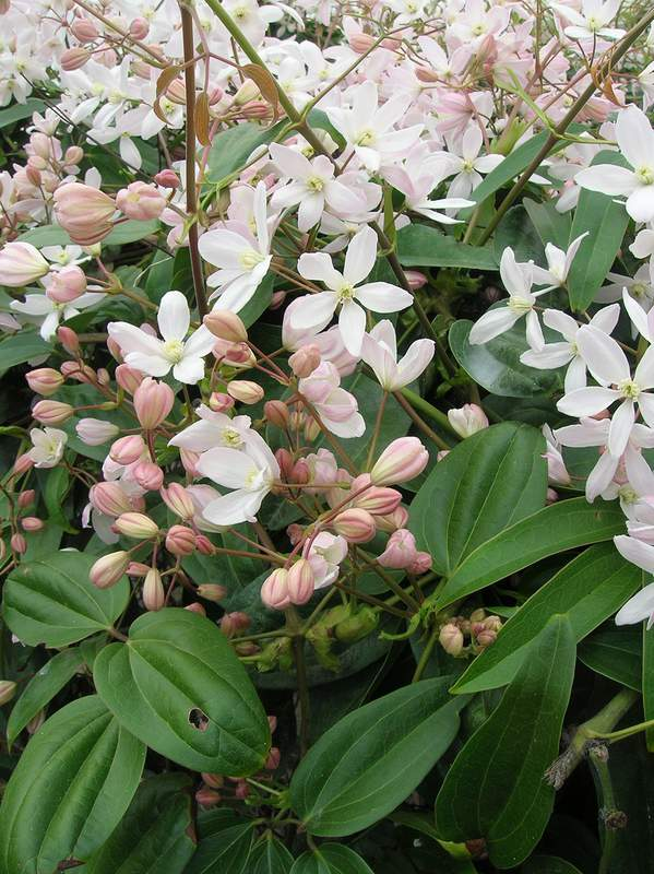 clematis armandii apple blossom cl matite plante grimpante. Black Bedroom Furniture Sets. Home Design Ideas