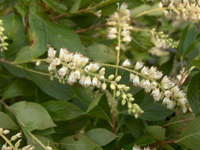clethra alnifolia clethra - arbuste