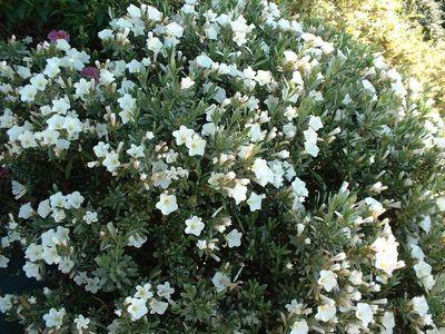 Achat du liseron acheter au meilleur prix de vente - Arbuste fleurs blanches feuillage persistant ...