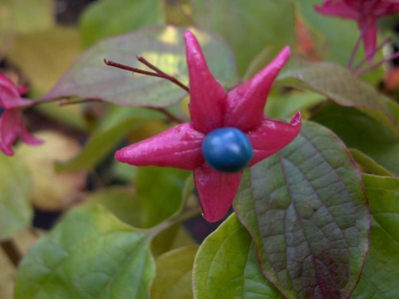 CLERODENDRON  trichotonum Fargesii fruit