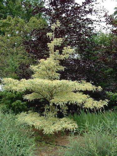cornus controversa variegata cornouiller arbuste. Black Bedroom Furniture Sets. Home Design Ideas