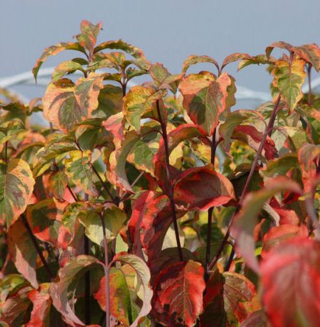 Cornus florida 'Rainbow' feuille